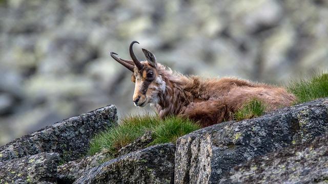 Een gems in de Hoge Tatra