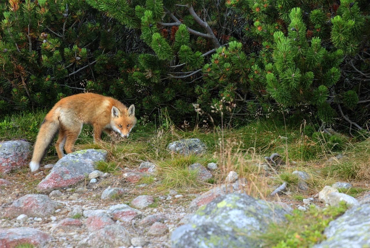 Je kunt een vos tegenkomen tijdens het wandelen in de Hoge Tatra.